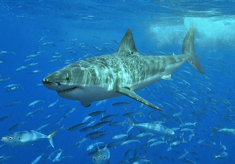 Haaienvallen voor de Australische kust