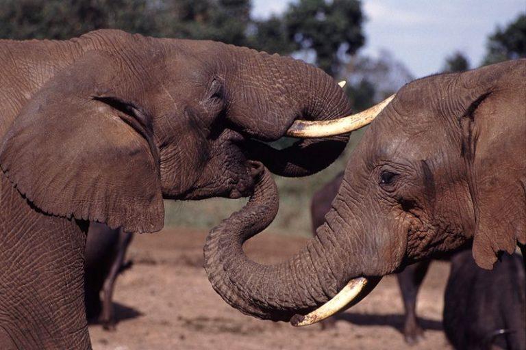 Twitteren met een olifant