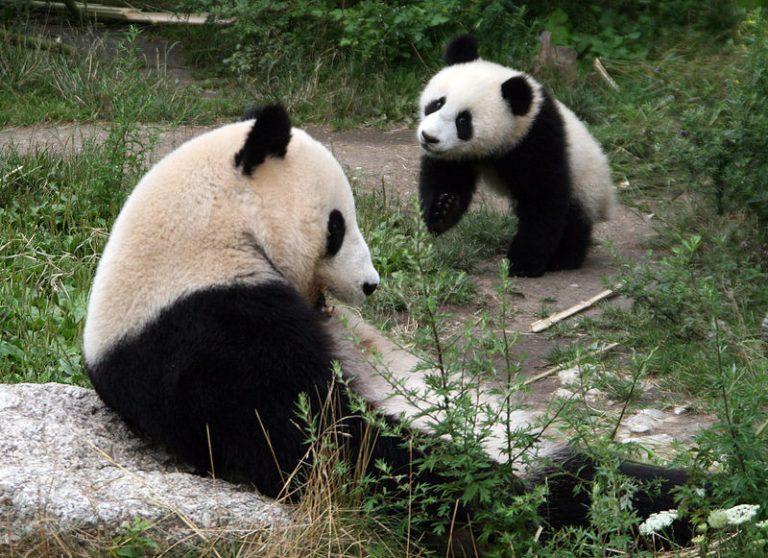 Reuzenpanda baby in Amerikaanse dierentuin