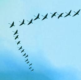 Waarom vliegen trekvogels in een V-formatie?