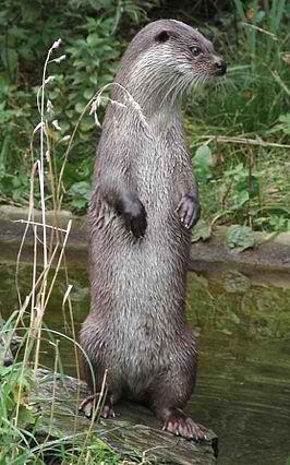 De otter is terug in de Gelderse Poort