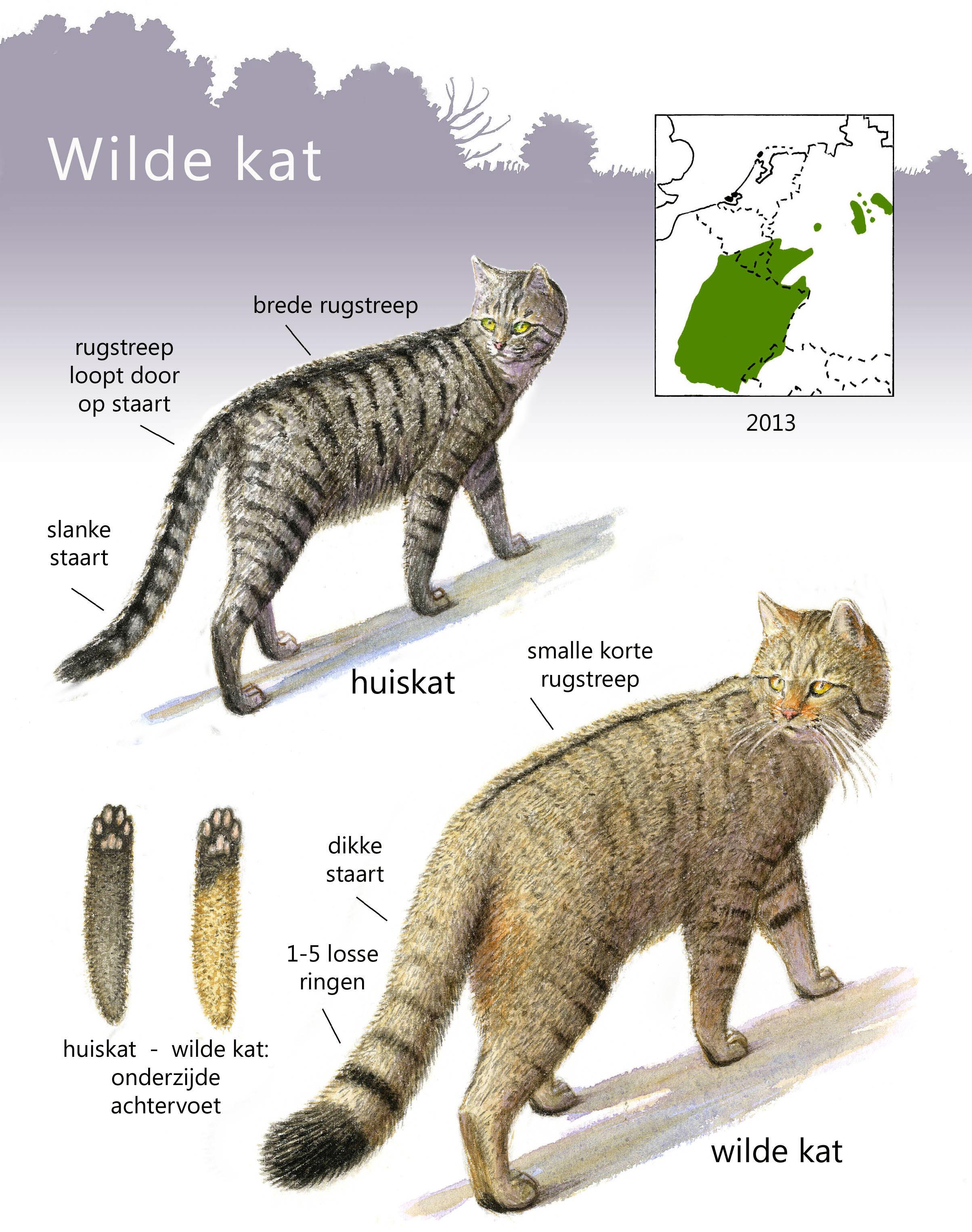 wilde-kat-vs-huiskat-jeroen-helmer