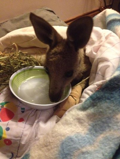 Kangoeroes slachtoffer van bosbranden in Australië