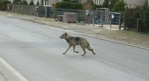 De wolf rukt op naar de stad