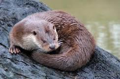 Otter aangereden op de A12