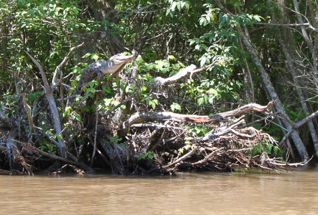 Krokodillen kunnen in bomen klimmen!
