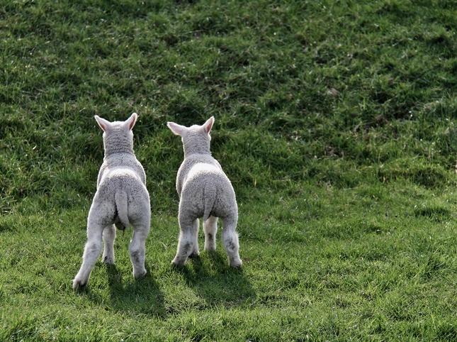 Lammetjes kijken in de Loenermark