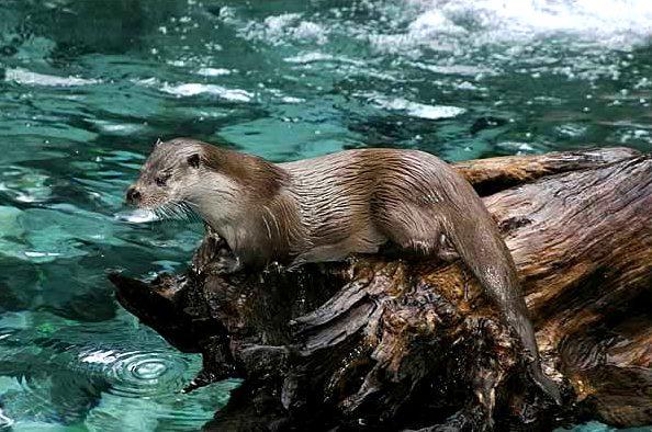 Er is toch nog een otter in de Nieuwkoopse Plassen