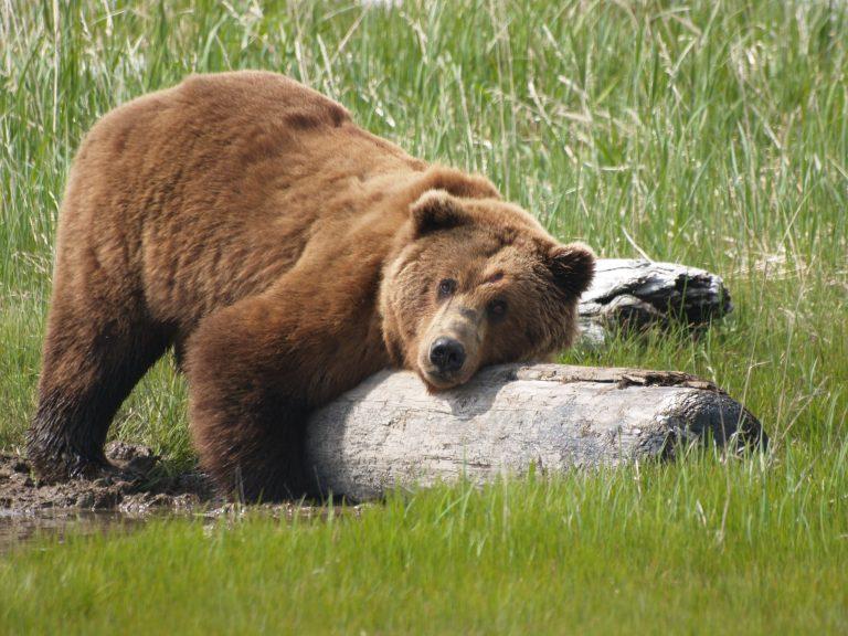 Trump bedreigt nu ook de grizzlys