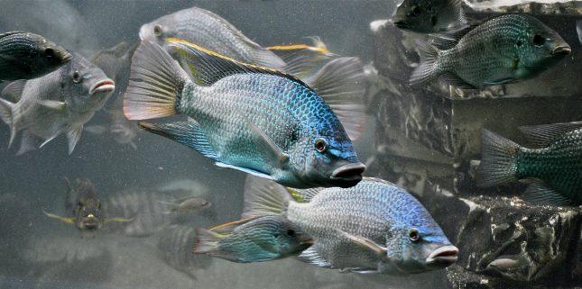 Blauwe vissen !