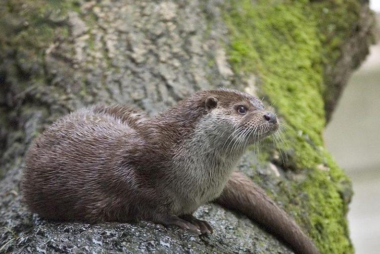Help de otter in de Nieuwkoopse Plassen