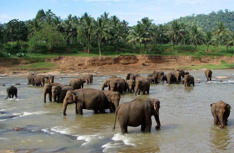 Olifanten blijken goed te kunnen horen