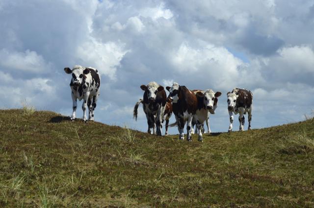 Krijgen koeien recht op weidegang?