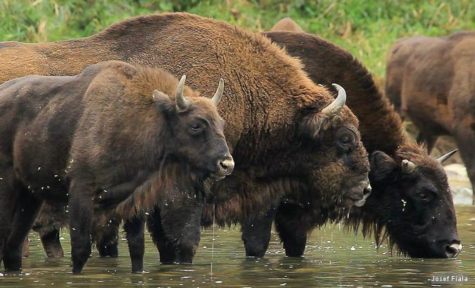 De grootste herintroductie van bizons in Europa