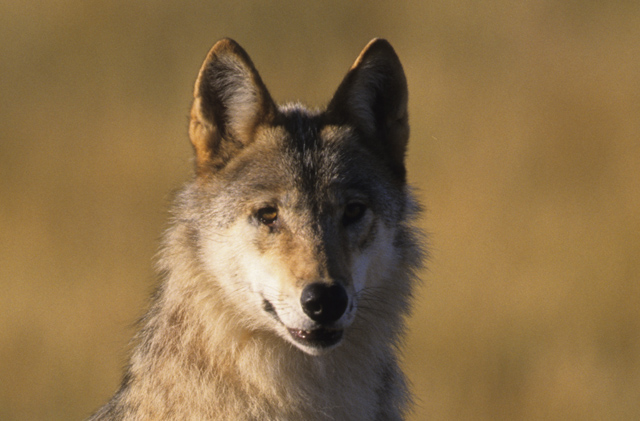 Nu dan toch echt een wolf in Nederland?