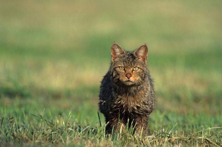 Wilde katten geboren in Nederland