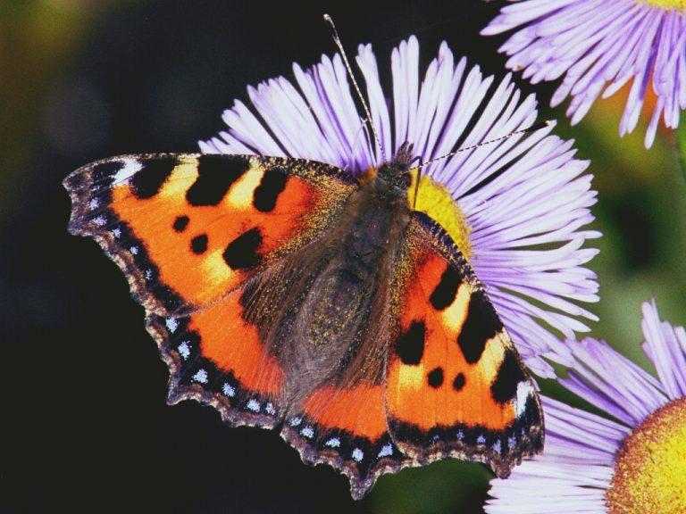 Komend weekend de landelijke tuinvlindertelling