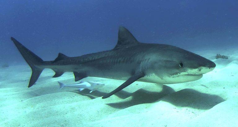 Haaien knabbelen aan internetkabels