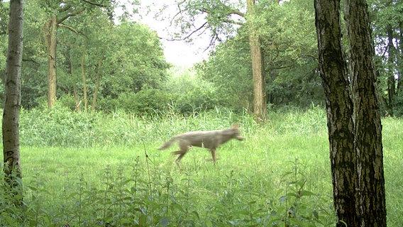 Wolf in Noord Duitsland gesignaleerd