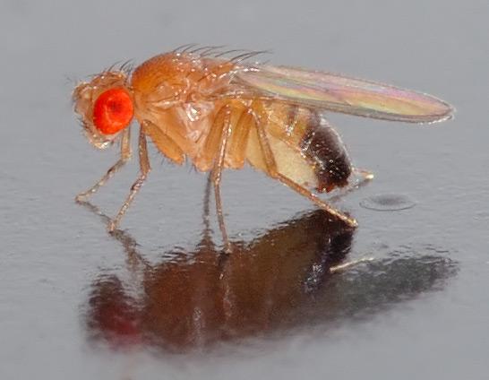 Fruitvliegjes aan de borrel