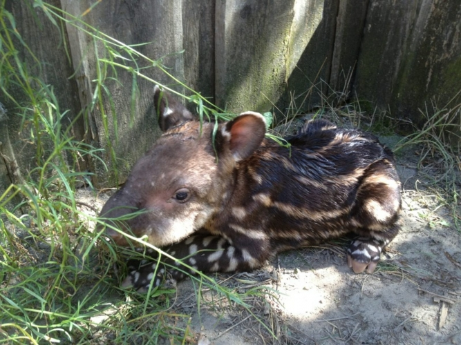 Tapir geboren in Nederlandse dierentuin