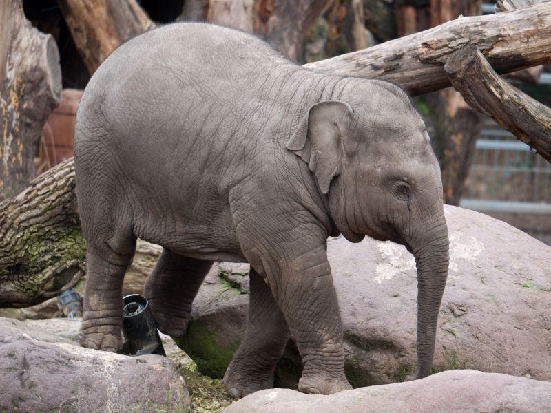 De geboorte van een olifant live op internet