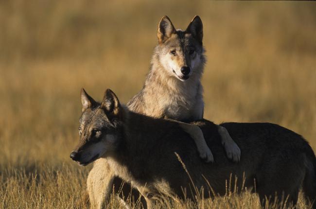 200 tot 400 wolven in Nederland