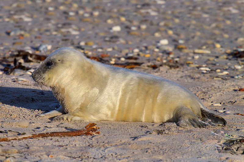 De eerste jonge zeehondjes