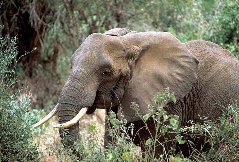 Jong olifantje gered in Kenia