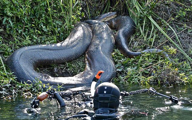 Fotograaf ontmoet enorme anaconda
