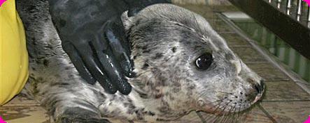 Eerste jonge zeehond van dit seizoen aangespoeld
