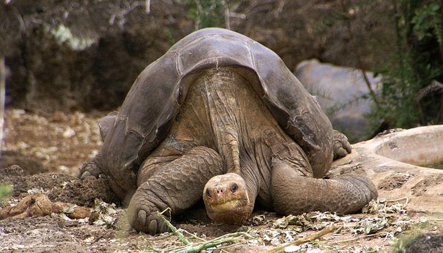 Uitgestorven reuzenschildpad komt toch weer terug