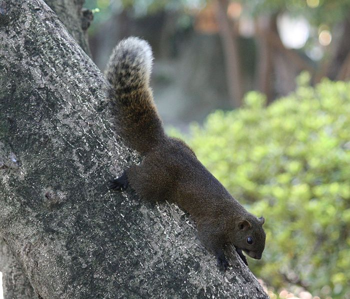 Opdringerige pallas eekhoorn