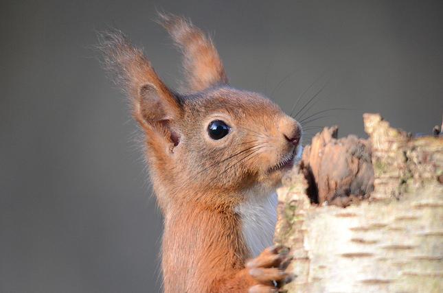 Dier van de maand: eekhoorn