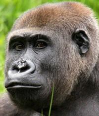 Gorillababy in Apenheul