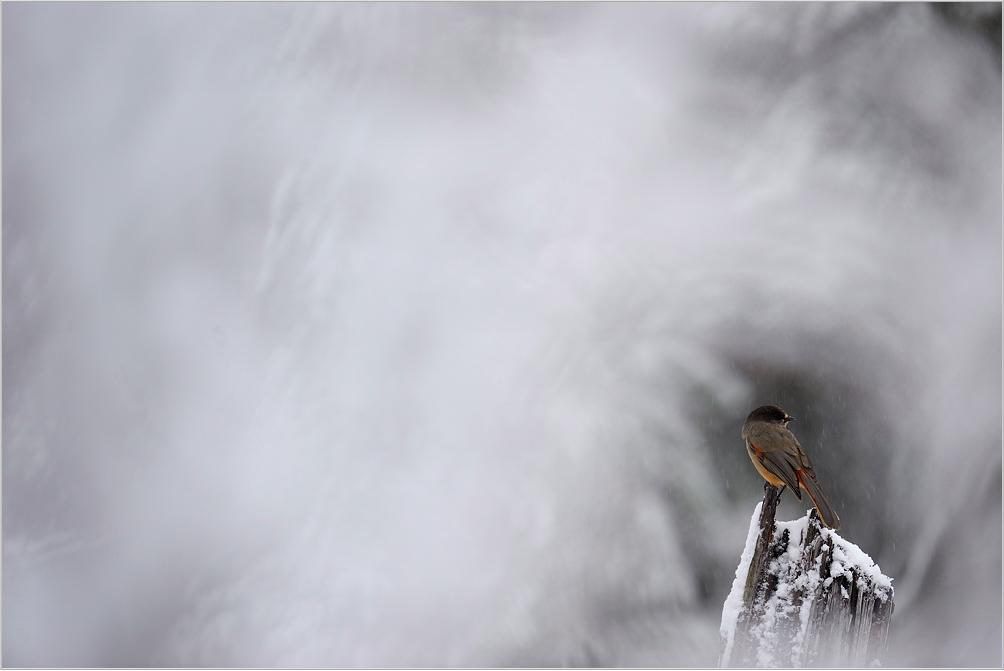Nu te zien in Zweden: de taigagaai