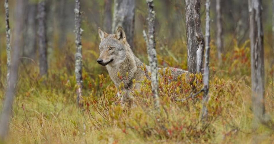 De wolf komt eraan, ook in België