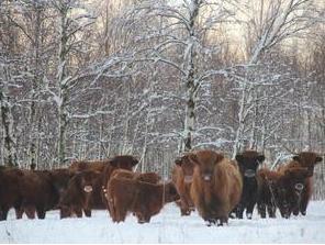 Letse koeien verdwenen