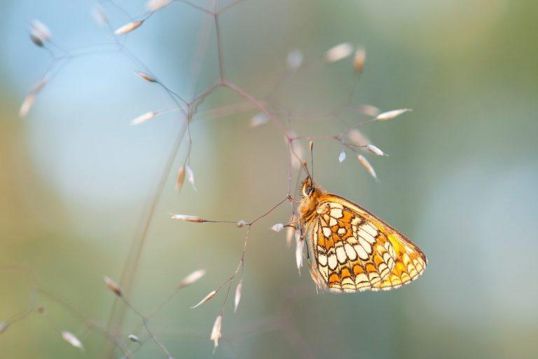 Waarom vliegt een vlinder nooit in een rechte lijn?
