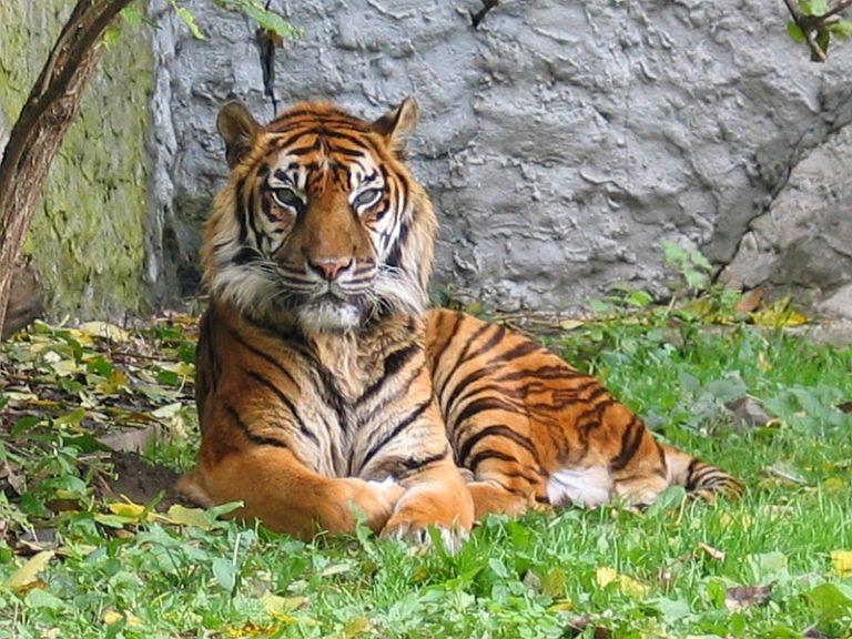 Sumatraans tijgertje geboren