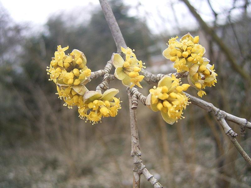 Gele kornoelje in bloei