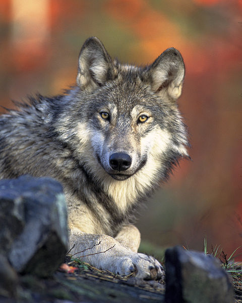 Wat eet een wolf eigenlijk?