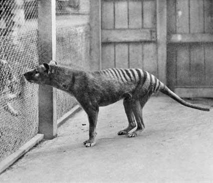 De Tasmaanse tijger is niet meer