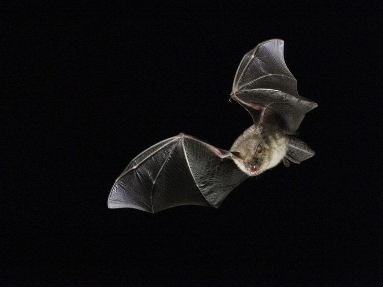 Vleermuizen krijsen met betekenis