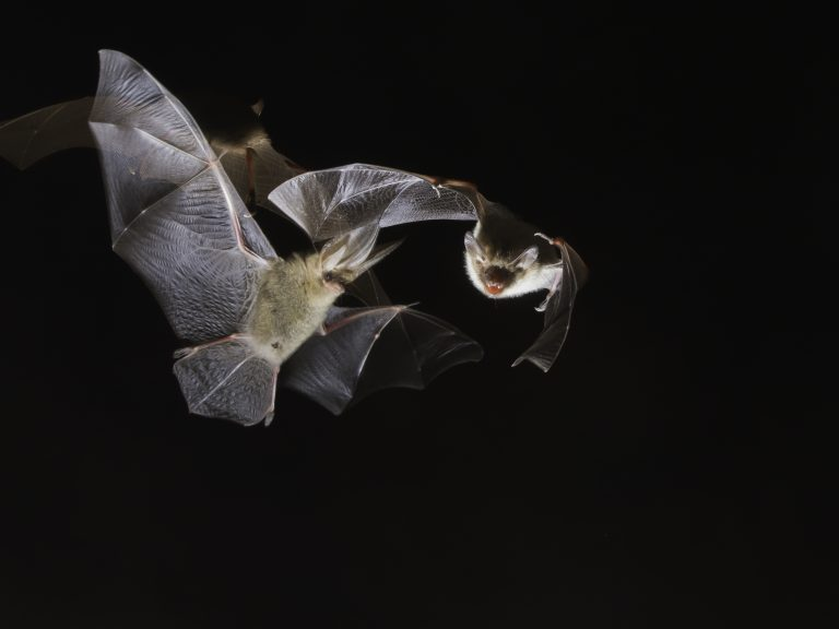 23 – 25 augustus: Nacht van de Vleermuis