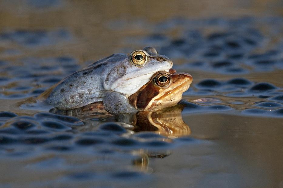 Heikikker; Rana arvalis; Moor Frog;