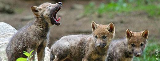 Requiem voor een wolf