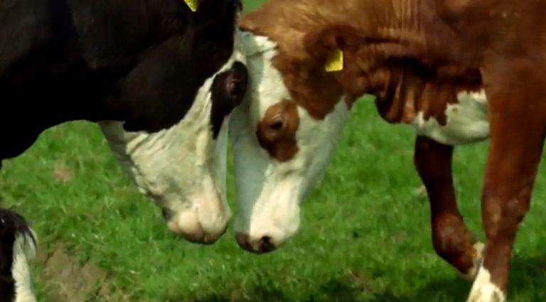 Koeien horen in de wei