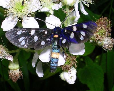 Een bijzondere verschijning: de phegeavlinder