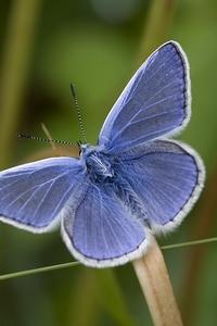Icarusblauwtjes kijken